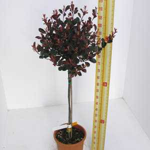 Photinia x Fraseri 'Little Red Robin' 1/2 Standard 18.5 Ltr
