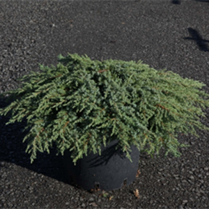 Juniperus Communis 'Green Carpet' (Dwarf Green Carpet Juniper)