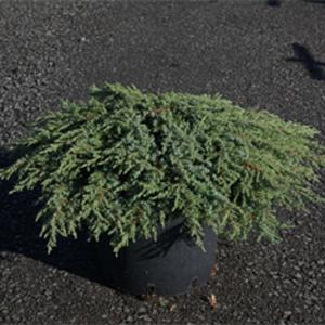 Juniperus Communis 'Green Carpet' (Dwarf Green Carpet Juniper)