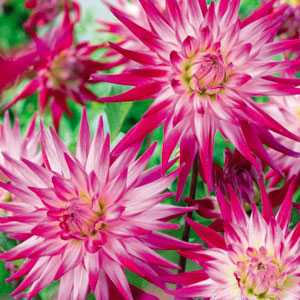 Dahlia Cactus Bulbs Geerlings Sorbet 1 Per Pack