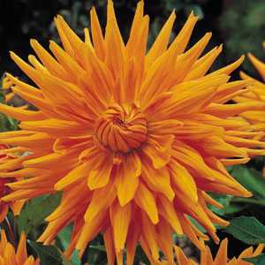 Dahlia Cactus Bulbs Gold Crown 1 Per Pack