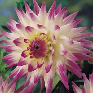 Dahlia Cactus Bulbs Jura 1 Per Pack