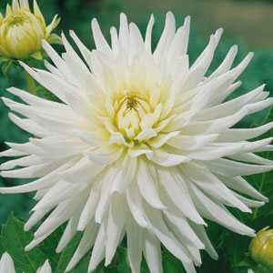 Dahlia Cactus Bulbs My Love 1 Per Pack
