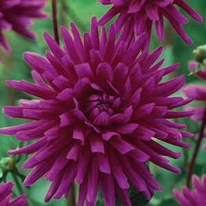Dahlia Cactus Bulbs Purple Gem 1 Per Pack