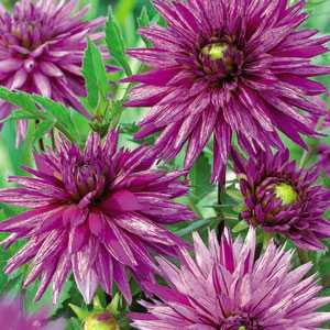 Dahlia Cactus Bulbs Striped Ambition 1 Per Pack