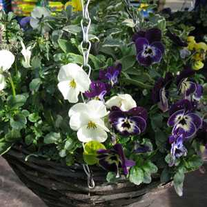 Spring Planted Hanging Baskets - Mixed Plants 12 inch Wicker Basket