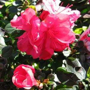 Azalea Japonica 'Moederdag' (Mother's Day)