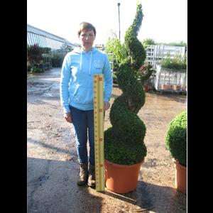 Buxus Sempervirens Spiral (Box Hedge) 2mtr