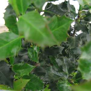 Ilex Meservae (Blue Holly) 2ltr