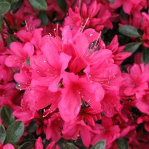 Azalea Japonica 'Thierry'