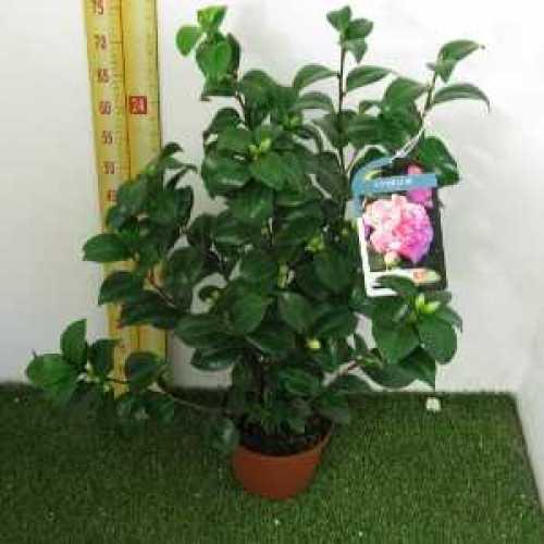 Camellia Japonica 'Debbie'