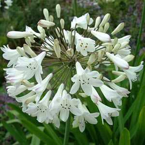 Agapanthus Snowstorm (White) Lily Of The Nile (African Lily)