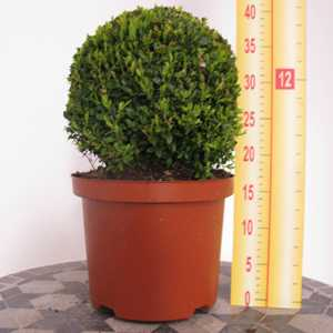 Buxus Sempervirens Ball (Topiary Ball/Box Hedge) 25-30cm 5 Litre Pot