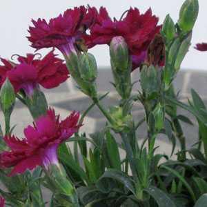 Dianthus (Pinks) Cerise Pink 9-12cm pot