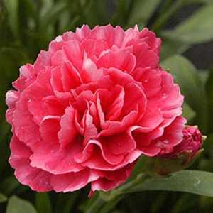 Dianthus (Pinks) Red 9-12cm Pot