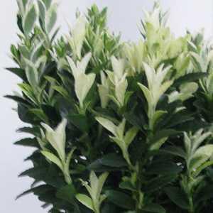 Euonymus Japonica Francien 2 Ltr