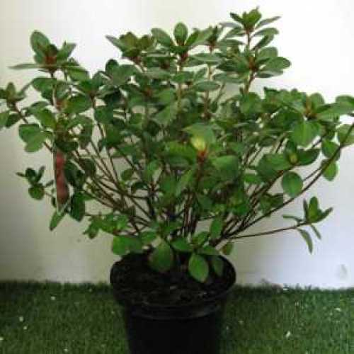 Azalea Japonica 'Olga Niblett'