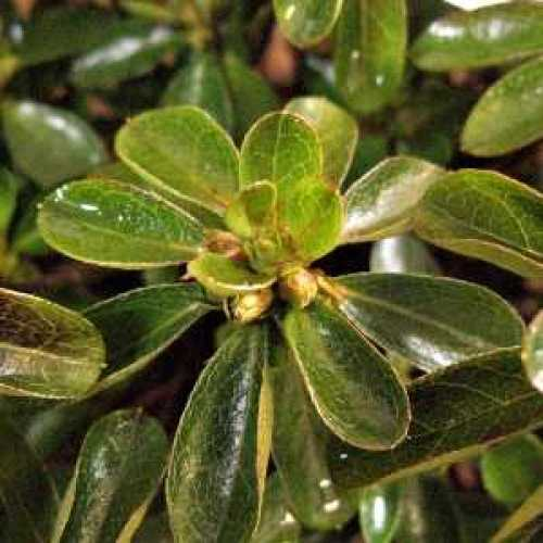 Azalea Japonica 'Peggy Ann'