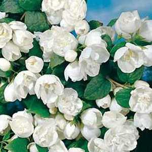 Philadelphus 'Virginal' (Mock Orange Tree)