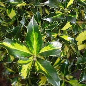 Ilex Aquifolium 'Northern Lights' (Holly) 2 Ltr