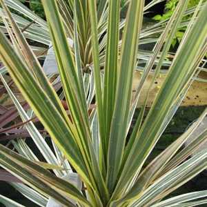 Cordyline australis 'Torbay Dazzler' (Cabbage Tree)