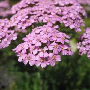 Achillea Millefolium Lilac Beauty (Yarrow)