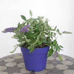Buddleia Davidii Lilac Chip (Dwarf Butterfly Bush) Buddleja