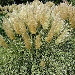 Cortaderia Selloana Splendid Star (Dwarf Golden Pampas Grass) 3 Ltr