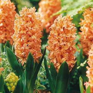 Hyacinth Bedding Bulbs Gipsy (Gypsy) Queen 5 Per Pack