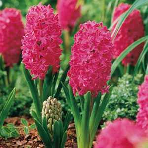 Hyacinth Bedding Bulbs Jan Bos 5 Per Pack