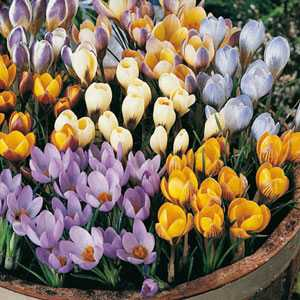 Crocus Bulbs Species Chrysanthus Mixed 100 Per Bag