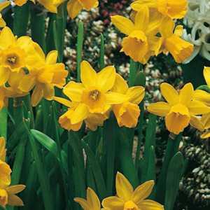Narcissus Cyclamineus Bulbs Tete A Tete (Daffodil) 25 Per Pack