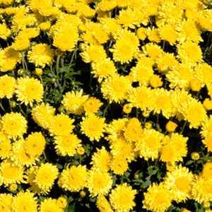 Chrysanthemum Hardy Sunny Igloo (Dendranthema)