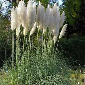 Cortaderia Selloana (Pampas Grass