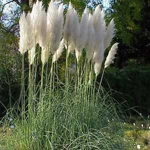 Cortaderia Selloana (Pampas Grass