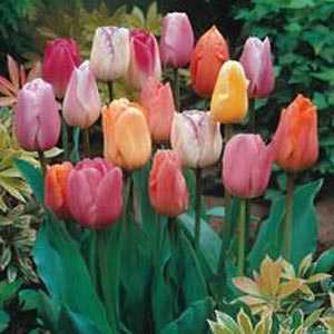 Tulip Bulbs Triumph Mixed Colours 25 Per Pack