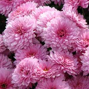 Chrysanthemum Pink/Lilac Hardy