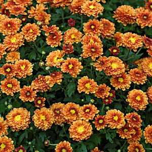 Chrysanthemum Orange Hardy