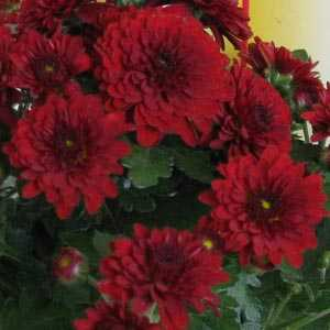 Chrysanthemum Red Hardy Patiomum 9cm Pot