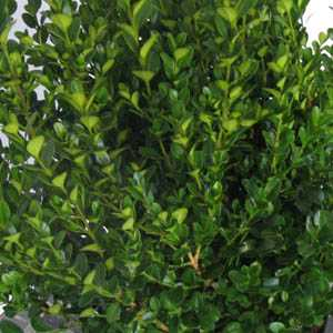 Box Hedge Buxus Sempervirens Topiary Plants Tray of 6 Plants