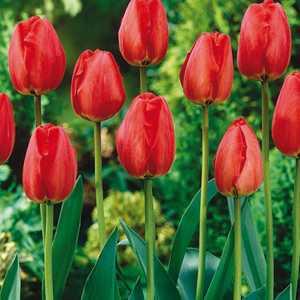 Tulip Bulbs Darwin Hybrid Apeldoorn 10 Per Pack
