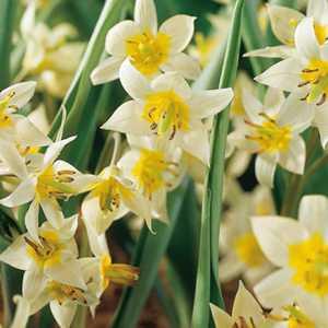 Tulip Bulbs Species Turkestanica 10 Per Pack