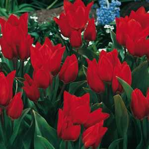 Tulip Bulbs Multiheaded Praestans Fusilier 10 Per Pack