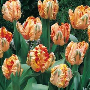 Tulip Bulbs Parrot Apricot Parrot 10 Per Pack
