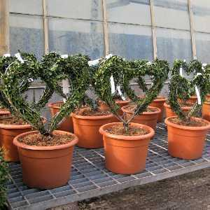 Ligustrum Jonandrum (Delavayanum) Topiary Heart Shaped Privet 10 Litre Pot