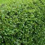 Ligustrum ovalifolium Common Green Privet 80-100cm Hedging Plant 3Ltr Pot - Pack of 10