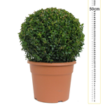 Buxus Sempervirens Ball (Box Hedge Ball/Topiary Ball) 30-35cm 10 Ltr