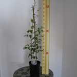 Clematis Hagley Hybrid (Climber)