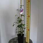 Clematis Mrs N Thompson (Climber) 3 Litre Pot