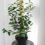 Prunus Lusitanica (Portuguese Laurel) 100-120cm 10Ltr